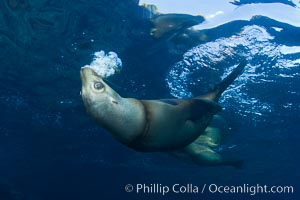 California sea lion injured by fishing line, Zalophus californianus, Sea of Cortez