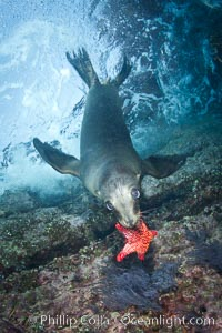 California sea lion underwater playing with sea star, Zalophus californianus, Sea of Cortez