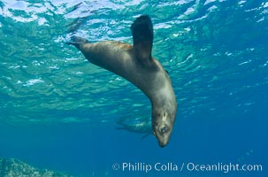 California sea lion underwater. Sea of Cortez, Baja California, Mexico, Zalophus californianus, natural history stock photograph, photo id 27436