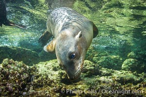 California sea lion underwater, Zalophus californianus, Sea of Cortez