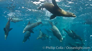 Large group of bachelor adult male California sea lions, underwater view, at Isla Las Animas near La Paz, Sea of Cortez, Baja California. Sea of Cortez, Baja California, Mexico, Zalophus californianus, natural history stock photograph, photo id 27461
