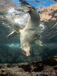 California Sea Lion Underwater, Coronado Islands, Baja California, Mexico, Zalophus californianus, Coronado Islands (Islas Coronado)