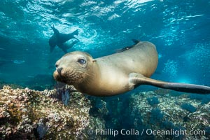 California sea lion underwater, Sea of Cortez, Mexico. Sea of Cortez, Baja California, Mexico, Zalophus californianus, natural history stock photograph, photo id 31214