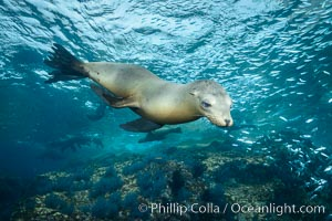 California sea lion underwater, Sea of Cortez, Mexico. Sea of Cortez, Baja California, Mexico, Zalophus californianus, natural history stock photograph, photo id 31219