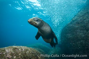 California sea lion underwater, Sea of Cortez, Mexico. Sea of Cortez, Baja California, Mexico, Zalophus californianus, natural history stock photograph, photo id 31231