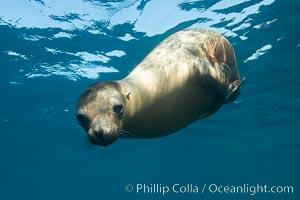 Image 31244, California sea lion underwater, Sea of Cortez, Mexico. Sea of Cortez, Baja California, Mexico, Zalophus californianus