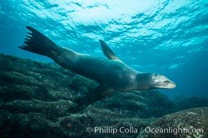 California sea lion underwater, Sea of Cortez, Mexico. Sea of Cortez, Baja California, Mexico, Zalophus californianus, natural history stock photograph, photo id 31259