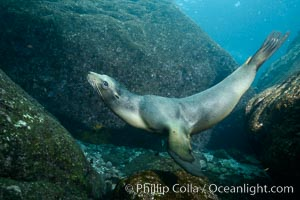 California sea lion underwater, Sea of Cortez, Mexico. Baja California, Zalophus californianus, natural history stock photograph, photo id 31261
