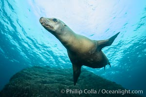 California sea lion underwater, Sea of Cortez, Mexico. Sea of Cortez, Baja California, Mexico, Zalophus californianus, natural history stock photograph, photo id 31263