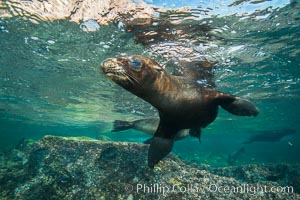 California sea lion underwater, Sea of Cortez, Mexico. Sea of Cortez, Baja California, Mexico, Zalophus californianus, natural history stock photograph, photo id 31265