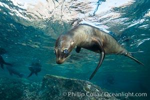 California sea lion underwater, Sea of Cortez, Mexico. Sea of Cortez, Baja California, Mexico, Zalophus californianus, natural history stock photograph, photo id 31266