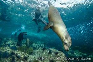 California sea lion underwater, Sea of Cortez, Mexico. Sea of Cortez, Baja California, Mexico, Zalophus californianus, natural history stock photograph, photo id 31268