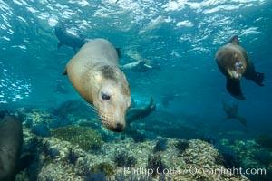 California sea lion underwater, Sea of Cortez, Mexico. Sea of Cortez, Baja California, Mexico, Zalophus californianus, natural history stock photograph, photo id 31269