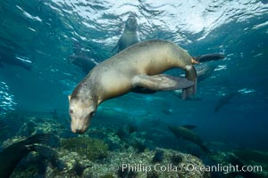 California sea lion underwater, Sea of Cortez, Mexico. Sea of Cortez, Baja California, Mexico, Zalophus californianus, natural history stock photograph, photo id 31270