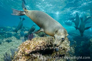 California sea lion underwater, Sea of Cortez, Mexico. Sea of Cortez, Baja California, Mexico, Zalophus californianus, natural history stock photograph, photo id 31271