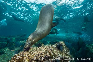 California sea lion underwater, Sea of Cortez, Mexico. Sea of Cortez, Baja California, Mexico, Zalophus californianus, natural history stock photograph, photo id 31272