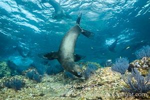 California sea lion underwater, Sea of Cortez, Mexico. Sea of Cortez, Baja California, Mexico, Zalophus californianus, natural history stock photograph, photo id 31274