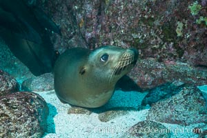 California sea lion underwater, Sea of Cortez, Mexico, Zalophus californianus