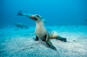 California sea lion, Webster Point rookery, Zalophus californianus