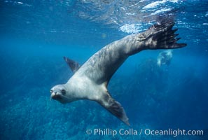California sea lion, Baja California., Zalophus californianus, natural history stock photograph, photo id 05048