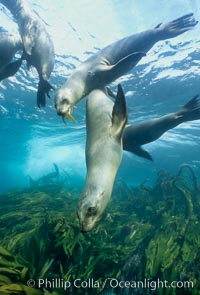 California sea lions swim and socialize over a kelp-covered rocky reef, underwater at San Clemente Island in California's southern Channel Islands. San Clemente Island, California, USA, Zalophus californianus, natural history stock photograph, photo id 02159