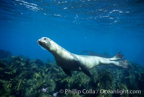 California sea lion. Santa Barbara Island, California, USA, Zalophus californianus, natural history stock photograph, photo id 02951