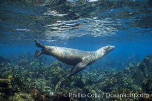 California sea lion. Santa Barbara Island, California, USA, Zalophus californianus, natural history stock photograph, photo id 03099