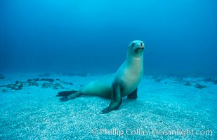 California sea lion, Webster Point rookery, Zalophus californianus, Santa Barbara Island