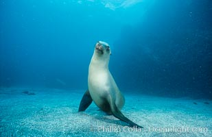 California sea lion, Webster Point rookery. Santa Barbara Island, California, USA, Zalophus californianus, natural history stock photograph, photo id 03808