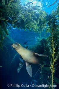 Image 04826, California sea lion. Santa Barbara Island, USA, Zalophus californianus, Phillip Colla, all rights reserved worldwide. Keywords: animal, animalia, california, california sea lion, californianus, caniformia, carnivora, carnivore, channel islands, channel islands national marine sanctuary, chordata, creature, eared seal, lobo marino, mammal, mammalia, marine, marine mammal, national marine sanctuaries, nature, ocean, oceans, otarid, otariid, otariidae, pacific, pacific ocean, pinniped, pinnipedia, santa barbara island, sea, sea dog, sea lion, sealion, underwater, usa, vertebrata, vertebrate, wildlife, zalophus, zalophus californianus.