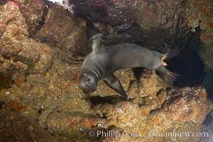 A California sea lion, underwater inside a submarine cavern, at Santa Barbara Island, Zalophus californianus