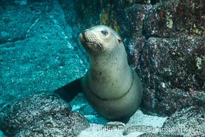 California sea lion with scar around neck from monofiliment fishing line entanglement, Zalophus californianus, Sea of Cortez