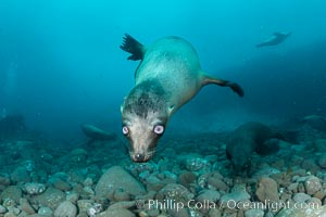 California sea lion with strange eyes, Coronados Islands, Baja California, Mexico. Coronado Islands (Islas Coronado), Baja California, Mexico, Zalophus californianus, natural history stock photograph, photo id 35055