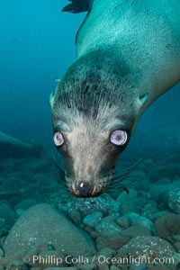 California sea lion with strange eyes, Coronados Islands, Baja California, Mexico, Zalophus californianus, Coronado Islands (Islas Coronado)