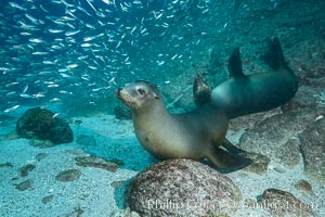 California sea lions and school of sardines underwater, Baja California, Sea of Cortez. Sea of Cortez, Baja California, Mexico, Zalophus californianus, natural history stock photograph, photo id 31236