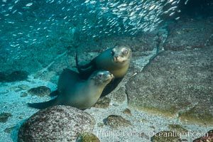 California sea lions and school of sardines underwater, Baja California, Sea of Cortez. Sea of Cortez, Baja California, Mexico, Zalophus californianus, natural history stock photograph, photo id 31278