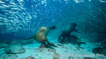 California sea lions and school of sardines underwater, Baja California, Sea of Cortez, Zalophus californianus
