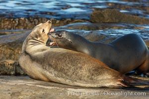 California Sea Lions fighting, La Jolla, Zalophus californianus
