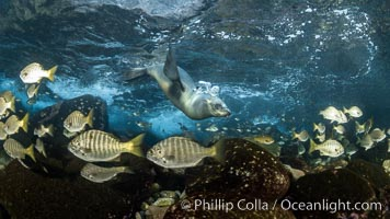 California Sea Lion hunting Zebra Perch, Underwater, Coronado Islands, Baja California, Mexico, Zalophus californianus, Hermosilla azurea, Coronado Islands (Islas Coronado)