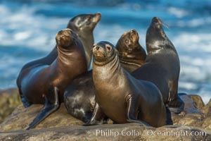 California sea lions, La Jolla, Zalophus californianus