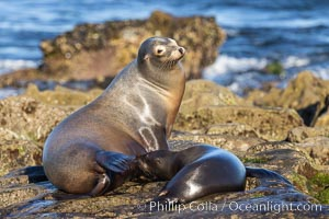 California Sea Lions, Mother nursing her pup, Zalophus californianus, La Jolla