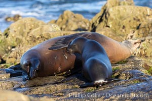 California Sea Lions Mother nursing her pup, Zalophus californianus, La Jolla