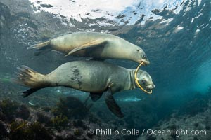 California Sea Lions Playing with Kelp, Coronado Islands, Baja California, Mexico, Zalophus californianus, Coronado Islands (Islas Coronado)