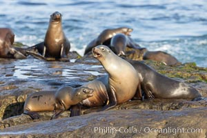 California Sea Lions Resting in the Sun, on rocky reef, La Jolla, Zalophus californianus