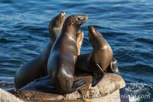 California sea lions, on rocks along the Pacific Ocean, Zalophus californianus, La Jolla