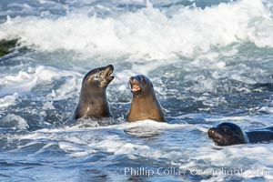 California Sea Lions socializing in the surf and waves, Zalophus californianus, La Jolla