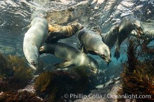 California Sea Lions Underwater, Coronado Islands, Baja California, Mexico, Zalophus californianus, Coronado Islands (Islas Coronado)