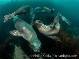 California Sea Lions Underwater, Coronado Islands, Baja California, Mexico. Coronado Islands (Islas Coronado), Zalophus californianus, natural history stock photograph, photo id 36534