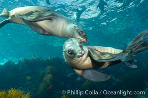 California sea lions underwater, Coronados Islands, Baja California, Mexico. Coronado Islands (Islas Coronado), Coronado Islands, Baja California, Mexico, Zalophus californianus, natural history stock photograph, photo id 34578