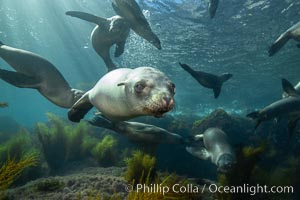 California sea lions underwater, Coronados Islands, Baja California, Mexico. Coronado Islands (Islas Coronado), Coronado Islands, Baja California, Mexico, Zalophus californianus, natural history stock photograph, photo id 34579